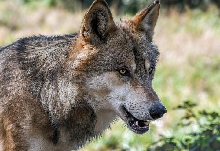 В Ростовской области охотники застрелили бешеного волка