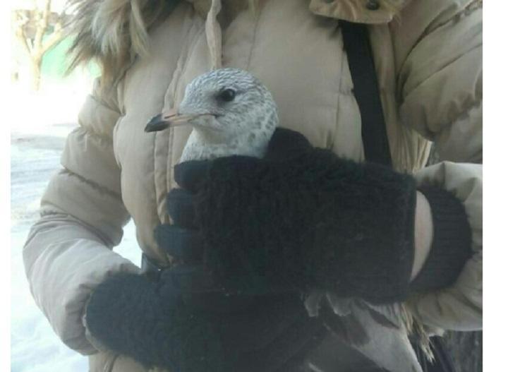 Ростовчанка пытается пристроить в надежные руки чайку с поврежденным крылом