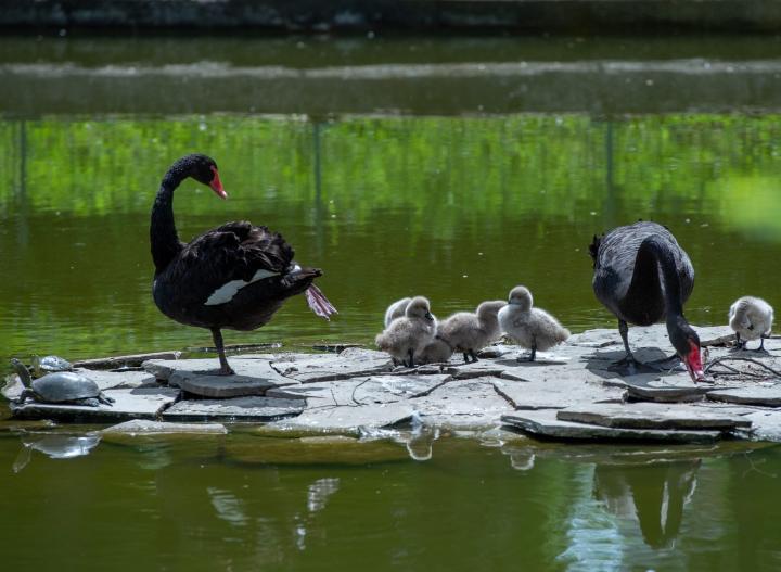 У черных лебедей в Ростовском зоопарке вылупилось шесть птенцов