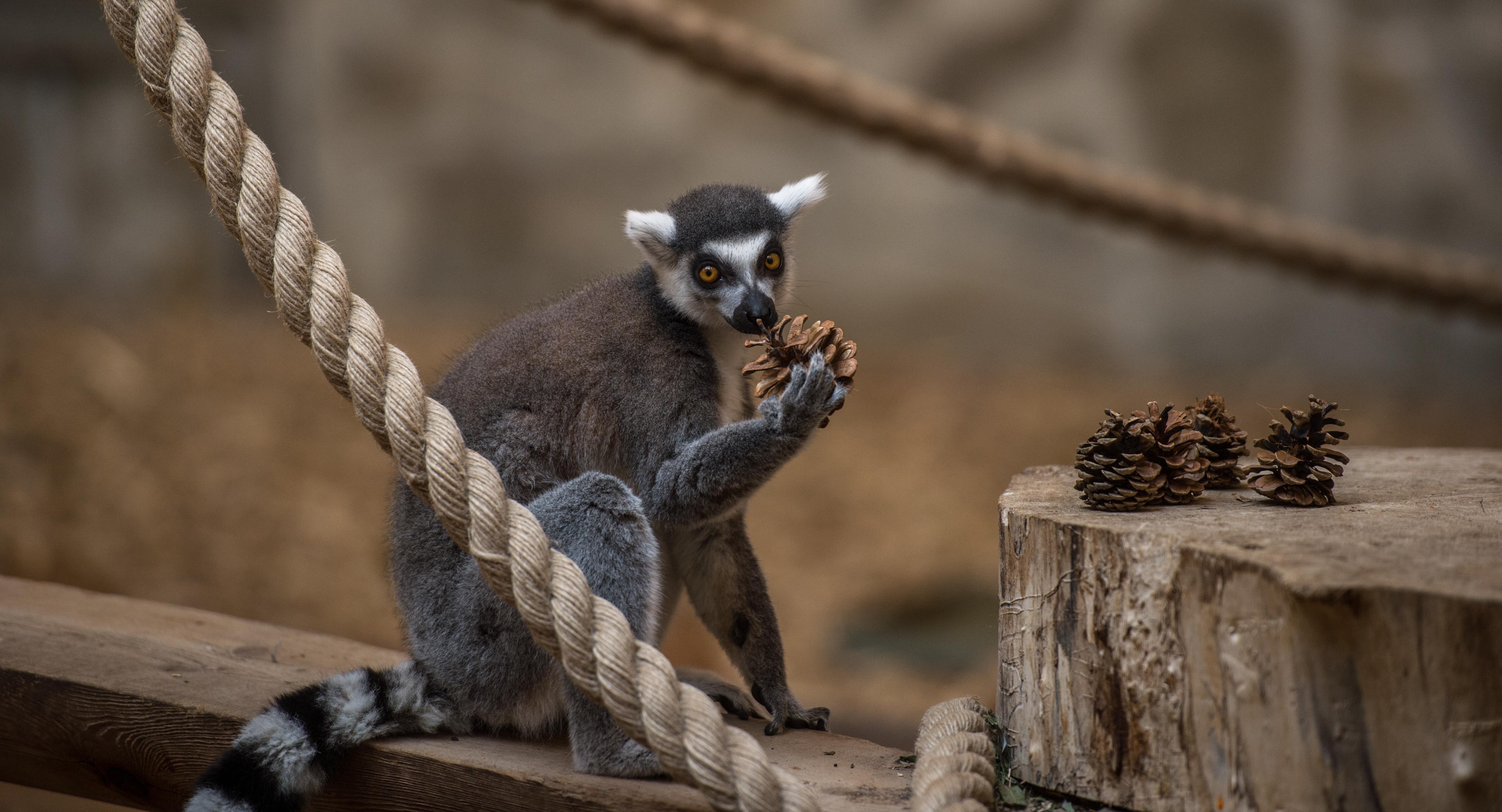 Лемуры вростовском зоопарке готовятся кНовому году