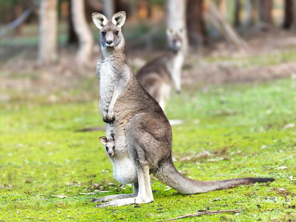 Все про кенгуру и картинки