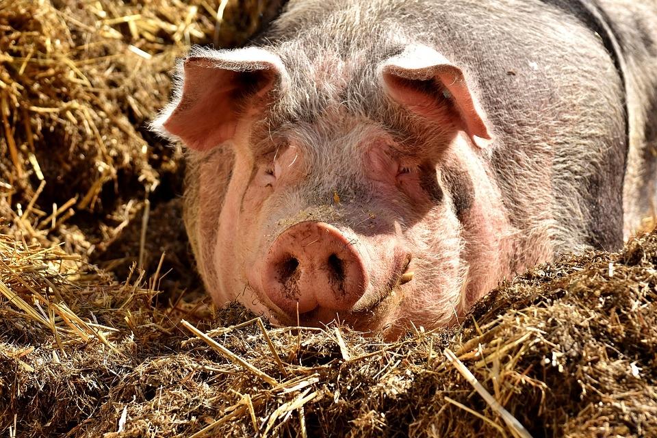 Свинья в картинках, надписью