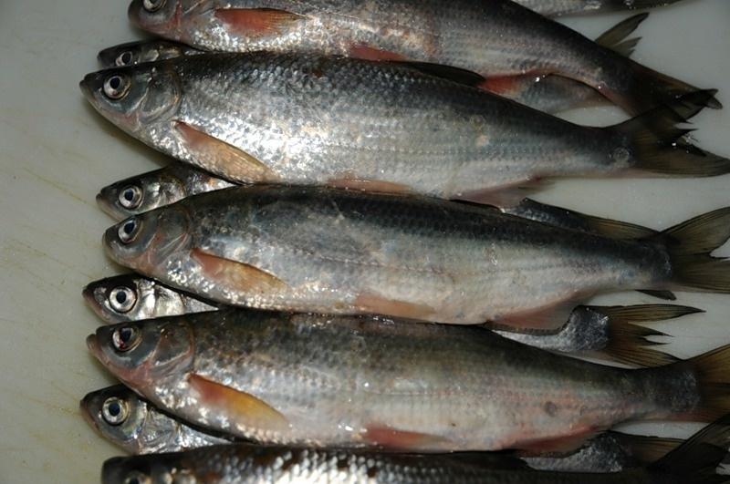 рыбы ростовской области фото с названиями нашим инструментом очень
