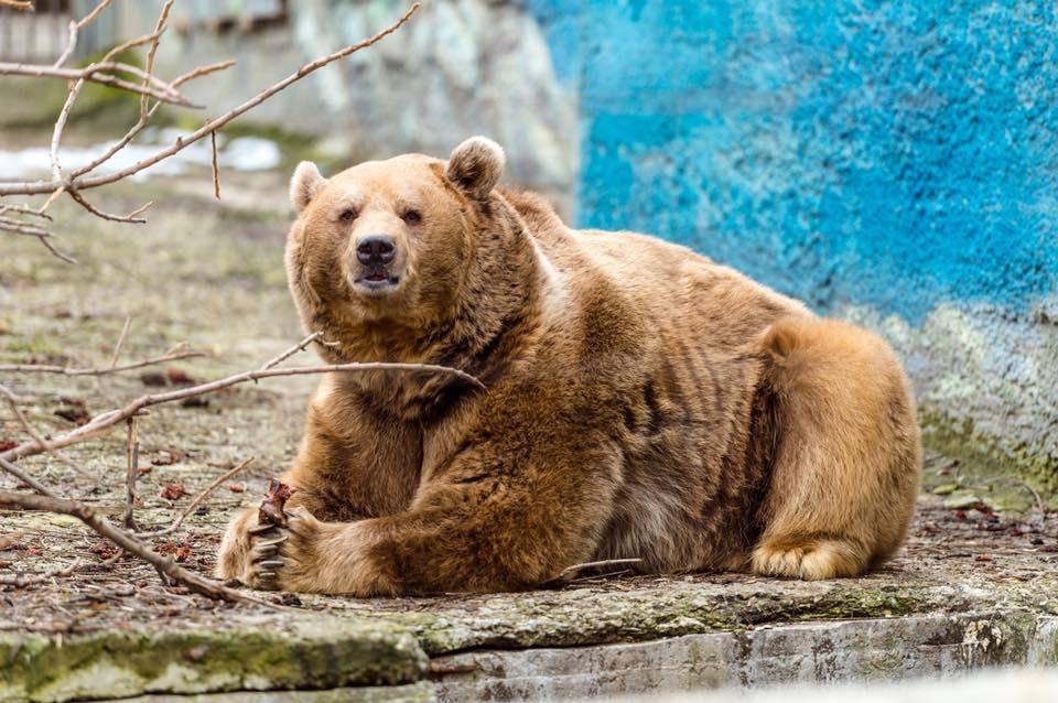 Вростовском зоопарке бурый медведь Андрюша проснулся после зимней спячки