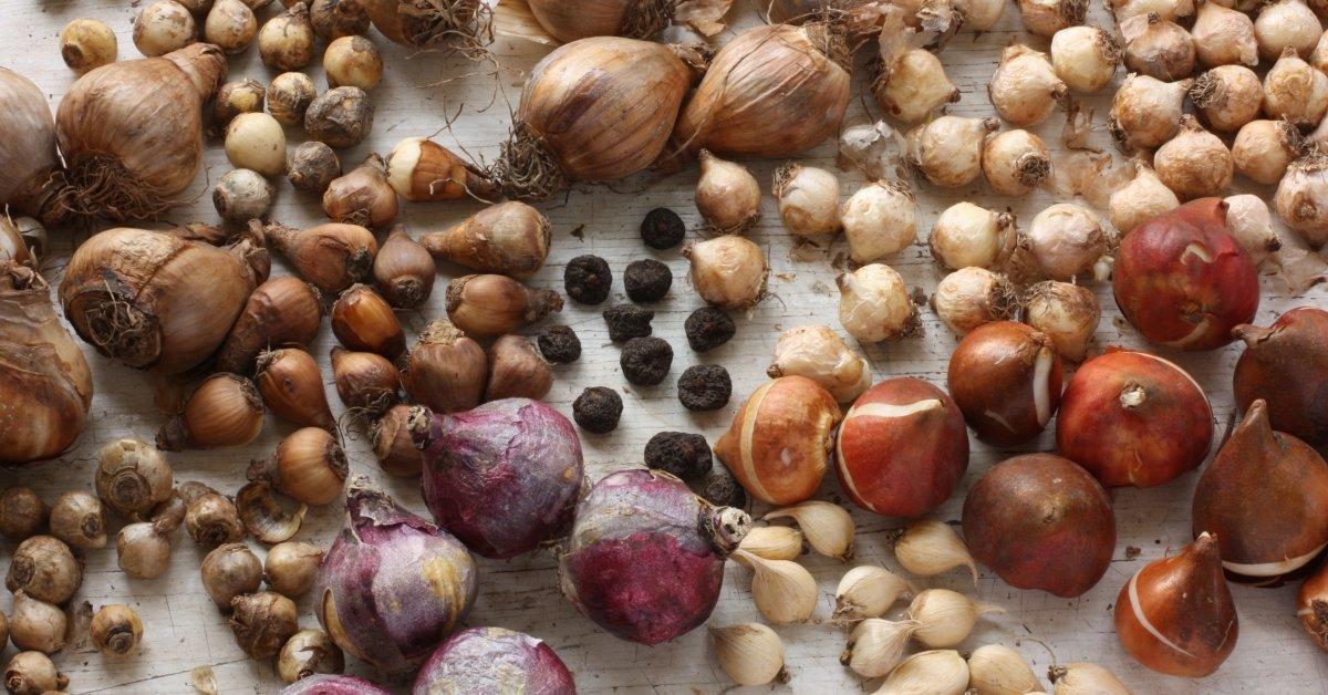 Луковицы цветов фото и названия как распознать